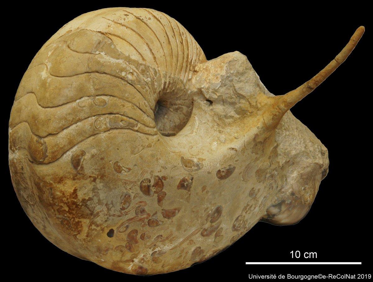 _Paracenoceras spinatum_ Tintant, 1989HOLOTYPE det. Tintant Henri (1989)